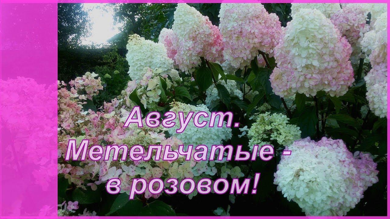 Август. Метельчатые -  в розовом. Гортензия метельчатая и анемоны осенние у меня в саду..