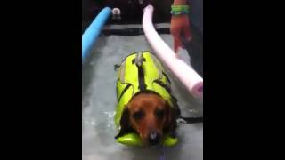 Dachshund Underwater Treadmill Therapy