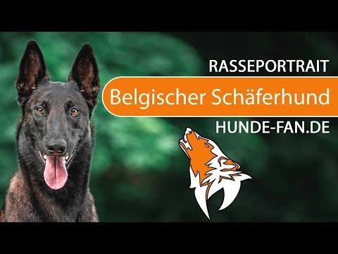 Belgischer Schäferhund - Malinois [2018] Rasse, Aussehen & Charakter