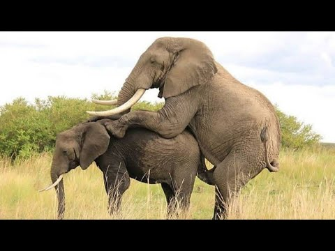 Download Tembo Hutumia Masaa 12 Kupiga Bao Moja
