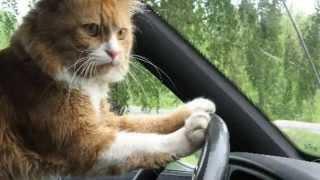 Эй прохожий залезай в машину подвезу!Кошки за рулем авто слайд шоу 2015!