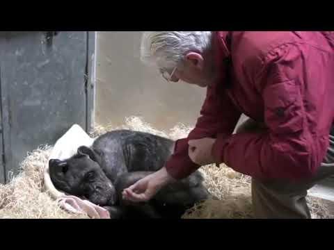 el-increíble-momento-en-el-que-una-chimpancé-a-punto-de-morir-reconoce-al-hombre-que-solía-cuidarla