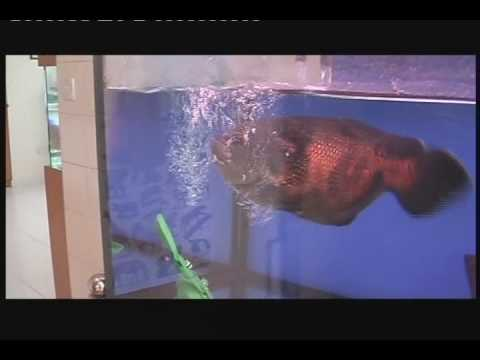 LIOW VIDEO -- TIGER OSCAR FISH EATING FROGS 猪鱼吃青蛙