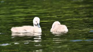 Chicks of the Mute Swan (Cygnus olor) / Küken vom Höckerschwan