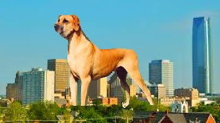 Favorite 10 Biggest Dogs of the big dog breeds