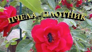 Пчела-плотник. Родственница медоносной пчелы.