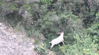 Capra Selvatica  Wild Goat del  Monte di Portofino