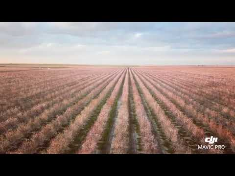 Almond Farm in Bakersfield CA. February 2018