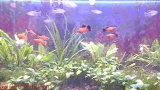 Голландский аквариум с анубиасами и криптокориной. Тетра Конго и Меченосцы