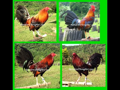 Probitable fighting cock breeding