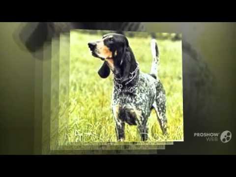 Голубой гасконский бассет порода собак