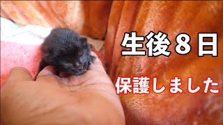 【子猫】生後8日の赤ちゃん猫を保護しました