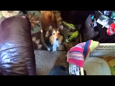 Momma Sheltie Protecting Her Puppy - A little  ( funny ) Sheltie puppies