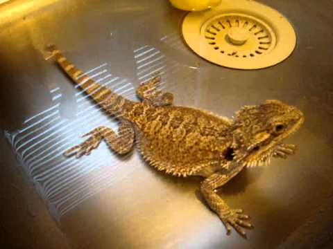 Is A Bearded Dragon The Right Pet Lizard For You