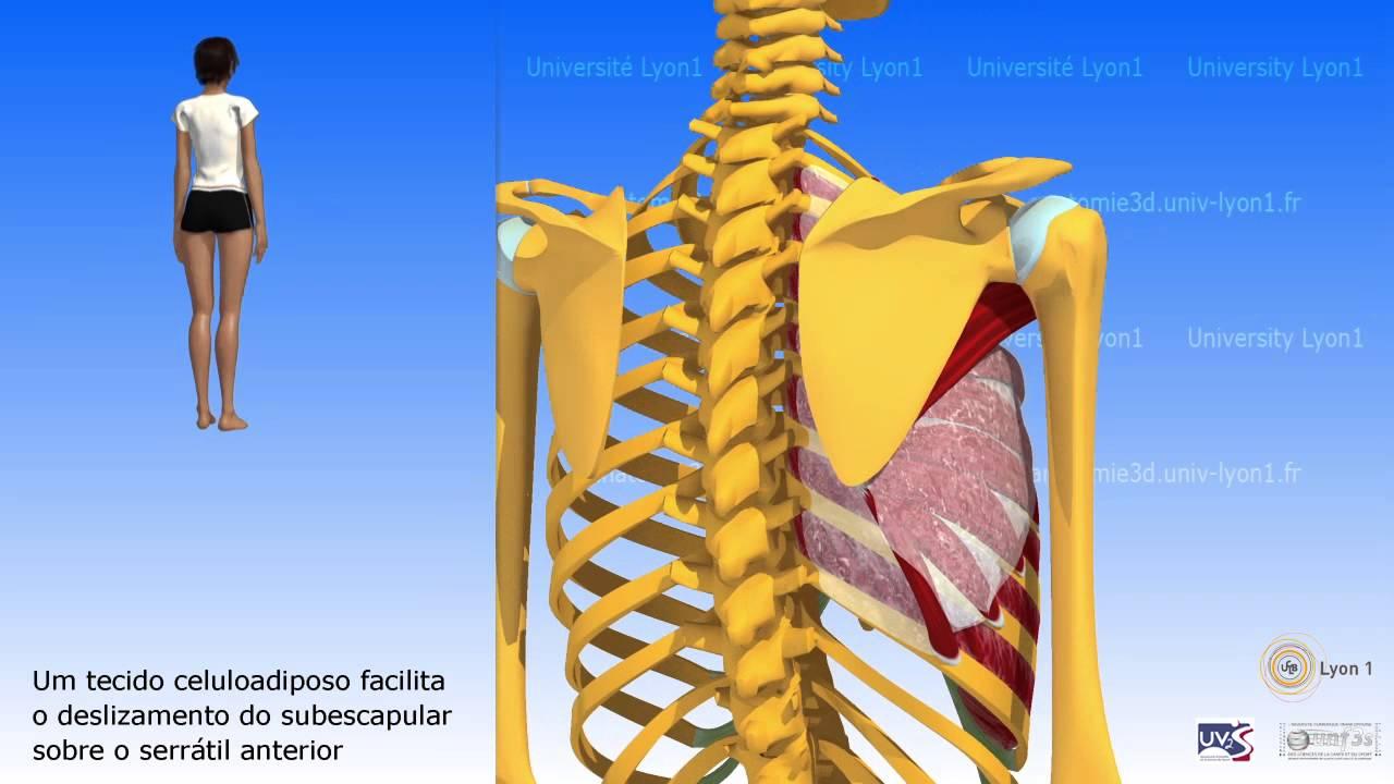 Articulação Escapulotorácica Ou Articulação Escapulosserratotorácica
