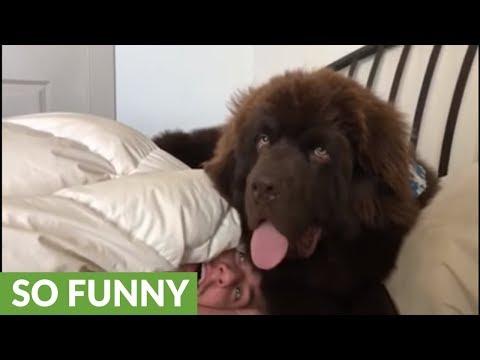 Newfoundland hilariously holds his owner hostage