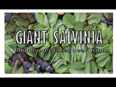 Giant Salvinia Documentary