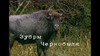 Чернобыльские джунгли. 20 лет без человека...Часть 4 [Зубры Чернобыля]