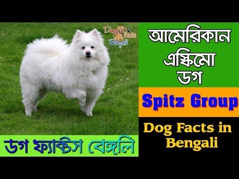 American Eskimo Dog facts in bengali | Spitz Dog | Dog Facts Bengali