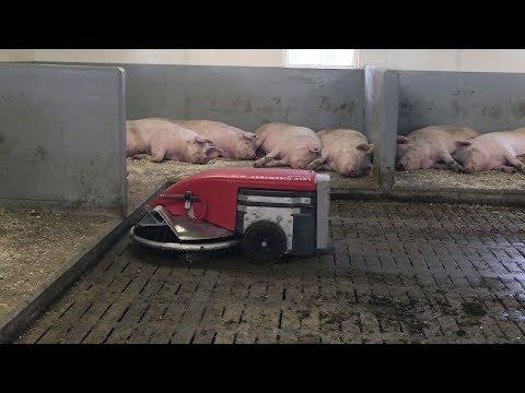 超大號掃地機器人,不幹家務專清豬糞,原來老外是這樣養豬的!