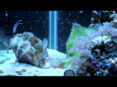 Cleaner Wrasse, Not Reef Safe?