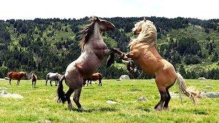 Two massive Pyrenean stallions