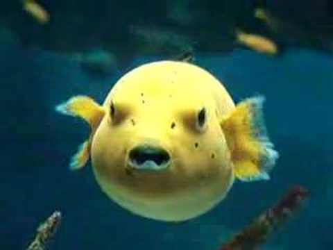 yellow fish great video in the lisbon oceanarium youtube. Black Bedroom Furniture Sets. Home Design Ideas