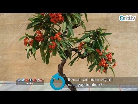 Bonsai için fidan seçimi nasıl yapılır?