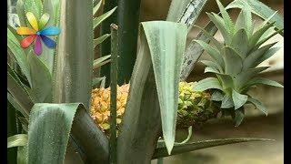 Как вырастить инжир, ананас и бананы в комнатных условиях – Все буде добре. Выпуск 1036 от 15.06.17