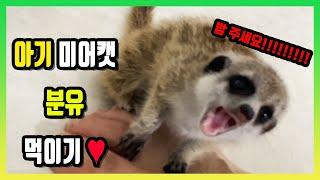 아기 미어캣 은 분유를 잘 먹을까? [팣팣팣]