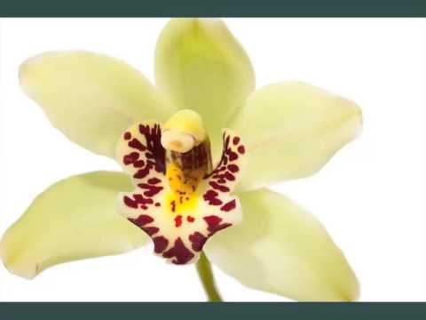 Green Cymbidium Orchid   Beautiful Collection Of Flower Bouquet Pictures