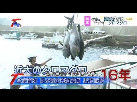 全球首例 日本完全養殖黑鮪 出貨市場 T觀點 20181215 (2/4)