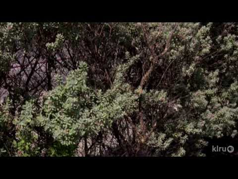 Pruning Texas Sage (cenizo) |Daphne Richards |Central Texas Gardener