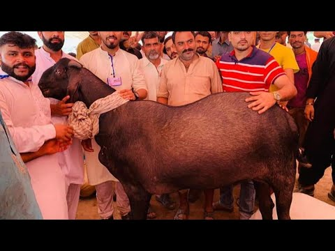 310 Kg Goat Sets New World Record in History |Faisalabad Goat Show 2019  Prize Distribution