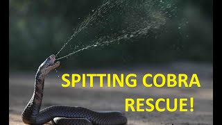 How to Catch a deadly spitting Corbra!