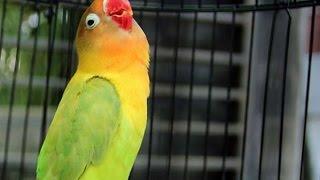 Download lagu Love Bird Ngekek Ngetrik Panjang !!!Ampuh Pemancing Love Bird Agar Rajin Ngekek
