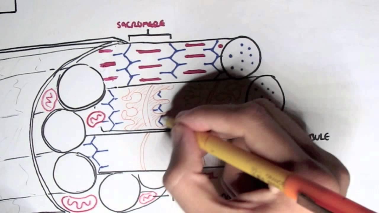 Myology - Skeletal Muscle Contraction - YouTube