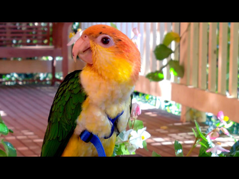 White bellied caique young male bird CAPTAIN