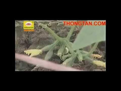 Kỹ thuật trồng dưa chuột