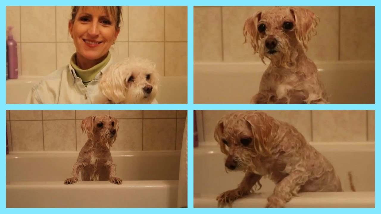 Medicated Shampoo for DOGS - HOW TO USE IT (and keep the dog in the tub!)