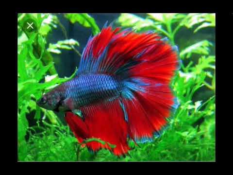 Gambar Ikan Cupang Terbagus Di Dunia