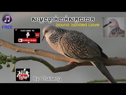 Cambodia Sound Bird Spotted Dove.mp3 || សម្លេងធ្នាក់ទាក់សត្វលលក