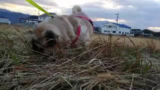 パグ犬ムゥを散歩に連れて行きました。散歩が大好きなムゥちゃん。元気...