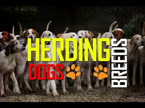 Breeds | Dogs | Herds | Herding Dogs |  Dog Breeds | Cattle Dogs | Shepard's | Sheep dogs