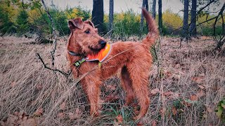 Frida  an Irish Terrier