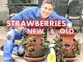 RE-NEW Last Year's Strawberry Plants |  EASY TO FOLLOW STEPS by Charles Malki