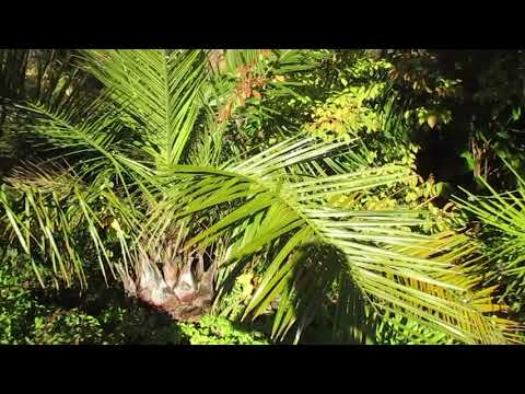 Jubaea chilensis Palm  in a Northern Climate