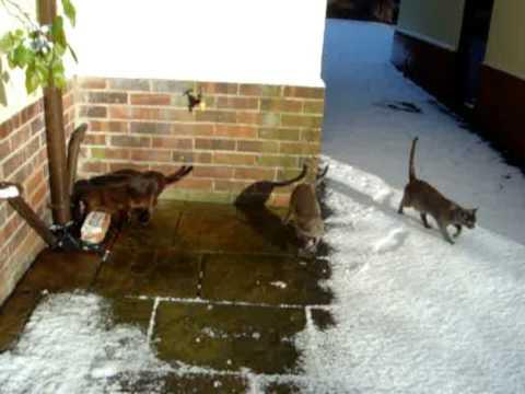 Burmese Cats first snowfall