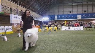 САМОЕД. Награждение. Международная выставка собак в Сконто