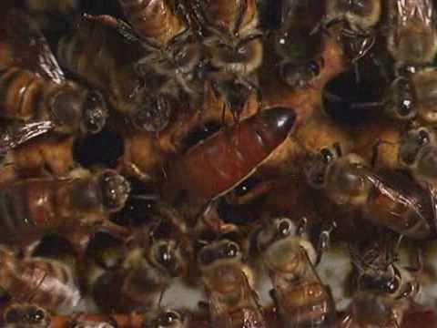 Download Honey bees - Natural History 2